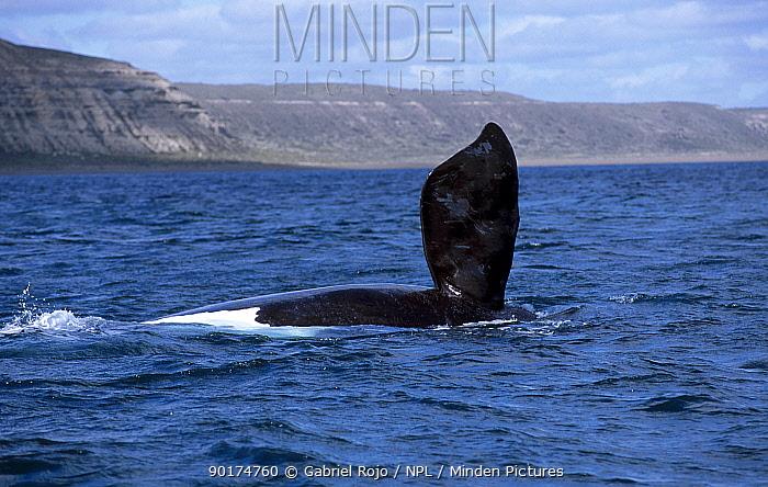 Southern right whale pectoral fin (Balaena glacialis australis) Patagonia Argentina  -  Gabriel Rojo/ npl