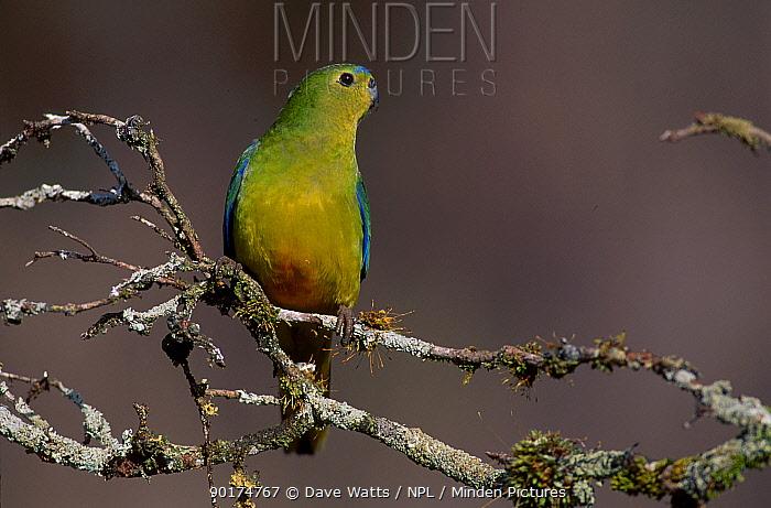 Orange bellied parrot male (Neophema chrysogaster) Tasmania Australia  -  Dave Watts/ npl