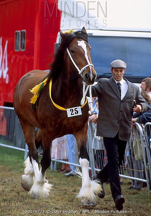 Shire horse New Forest show Hampshire UK  -  Colin Seddon/ npl