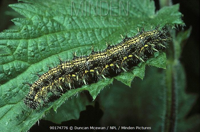 Small Tortoiseshell butterfly caterpillar (Aglais urticae) on nettle (Urtica dioica) foodplant  -  Duncan McEwan/ npl