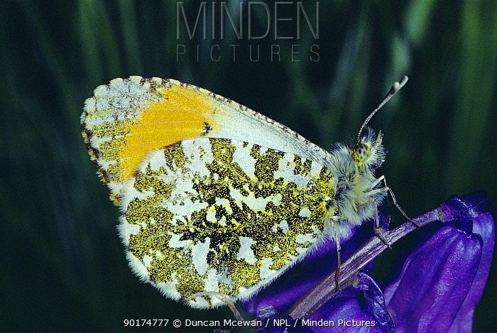 Orange Tip butterfly male (Anthocharis cardamines) on bluebell flower  -  Duncan McEwan/ npl