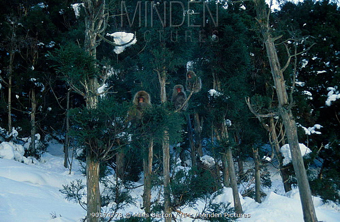 Group of year-old Japanese macaques (Macaca fuscata) in pine trees Japan  -  Miles Barton/ npl