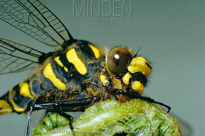 Golden-ringed dragonfly, close up of head and thorax (Cordulegaster boltonii)  -  Duncan McEwan/ npl