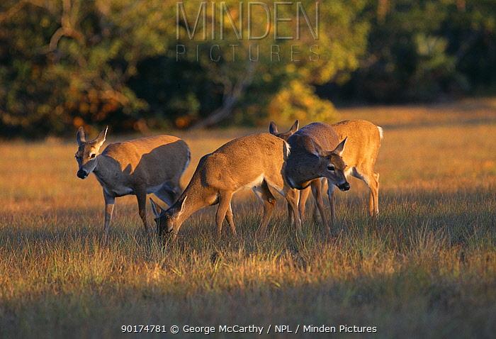 Key deer grazing (Odocoileus virginianus clavium), Big Pine Key Florida USA Endangered  -  George Mccarthy/ npl