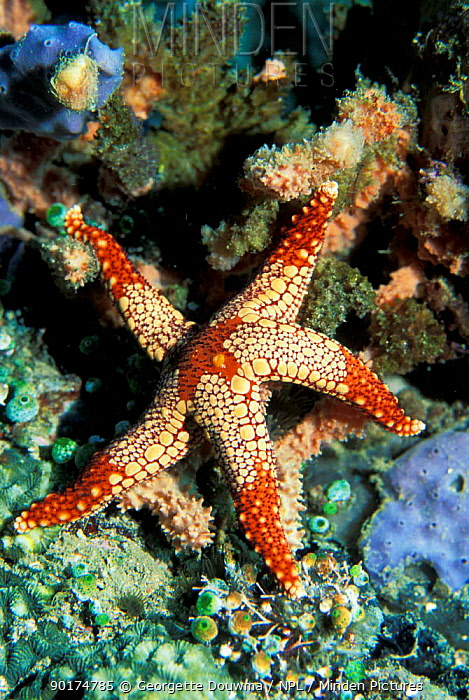 Necklace seastar (Fromia monilis) Sulawesi, Indonesia  -  Georgette Douwma/ npl