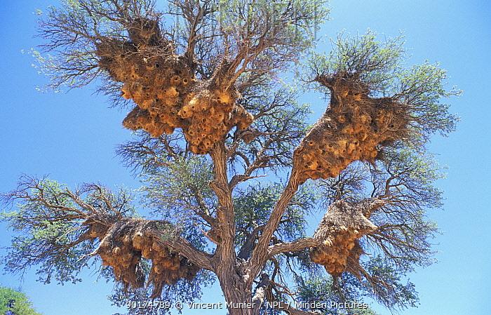 Sociable weaver nests in tree (Philetairus socius) Namib desert, Namibia  -  Vincent Munier/ npl