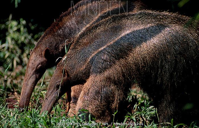 Giant anteater searching for ants termites (Myrmecophaga tridactyla) Brazil  -  Jabruson/ npl
