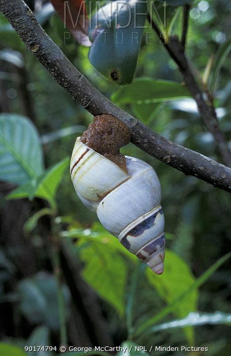 Florida tree snail (Liguus fasciatus) Florida Everglades, USA  -  George Mccarthy/ npl