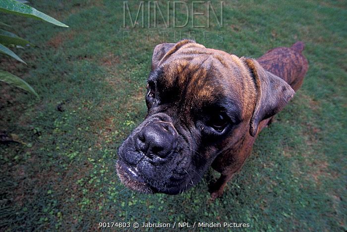 Boxer dog portrait (Canis familiaris) pets pedigree breed  -  Jabruson/ npl