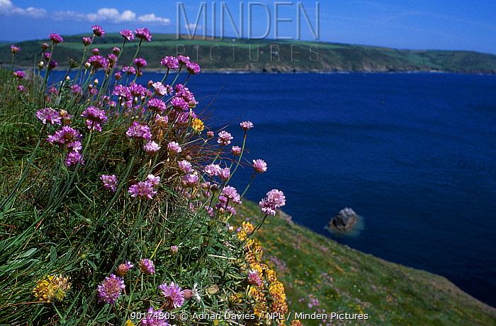 Thrift (Armeria maritima) Coastal cliffs Devon UK  -  Adrian Davies/ npl
