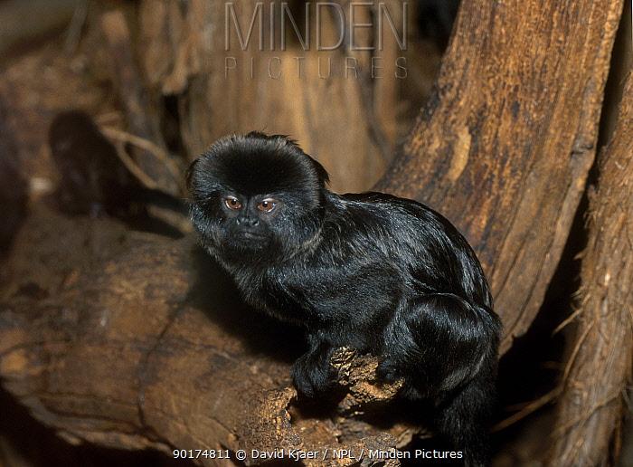 Goeldis marmoset (Callimico goeldii) captive  -  David Kjaer/ npl