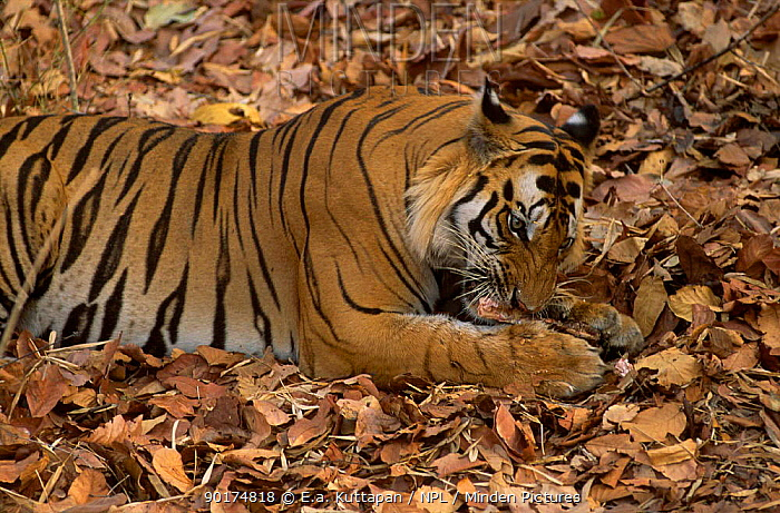 Bengal tiger gnawing on bone (Panthera tigris tigris) Bandhavgarh NP MP India  -  E.A. Kuttapan/ npl