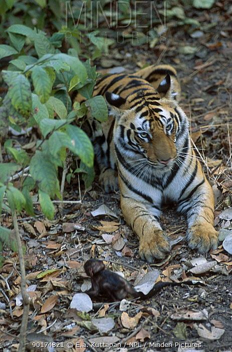 Bengal tiger with baby Langur (Panthera tigris tigris) Bandhavgarh NP India Seq 2, 5  -  E.A. Kuttapan/ npl