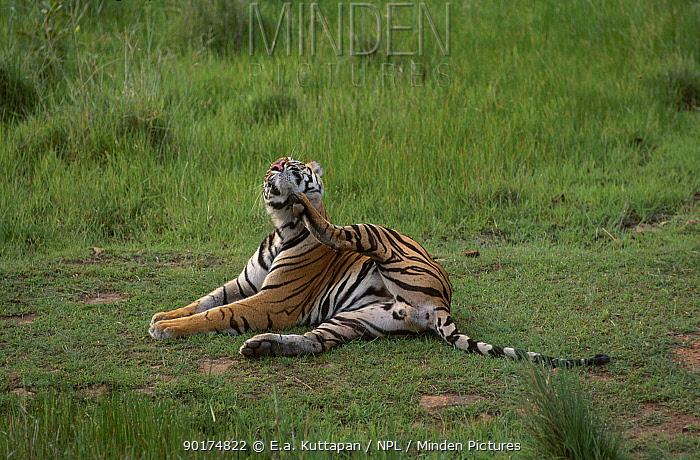 Male Bengal tiger scratching (Panthera tigris tigris) Bandhavgarh NP MP India  -  E.A. Kuttapan/ npl