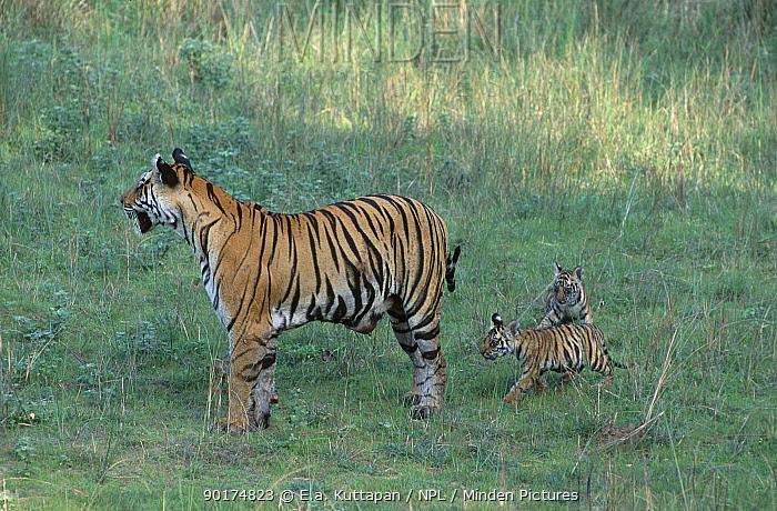 Bengal tigress leading young cubs (Panthera tigris tigris) Bandhavgarh NP MP India  -  E.A. Kuttapan/ npl