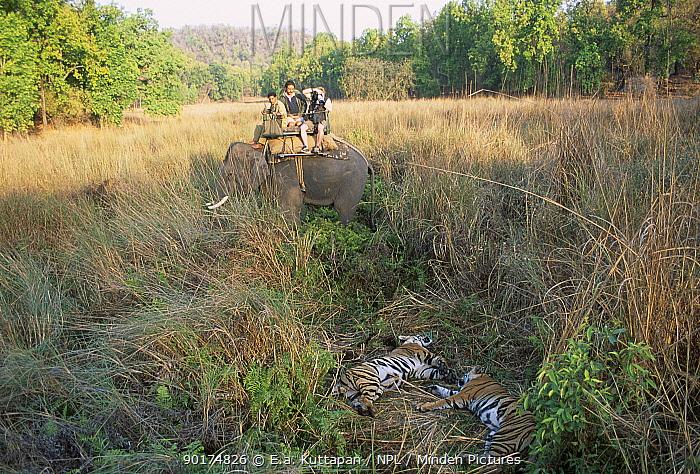Tourists viewing Bengal tigers from elephant back (Panthera t tigris) Bandhavgarh NP India  -  E.A. Kuttapan/ npl