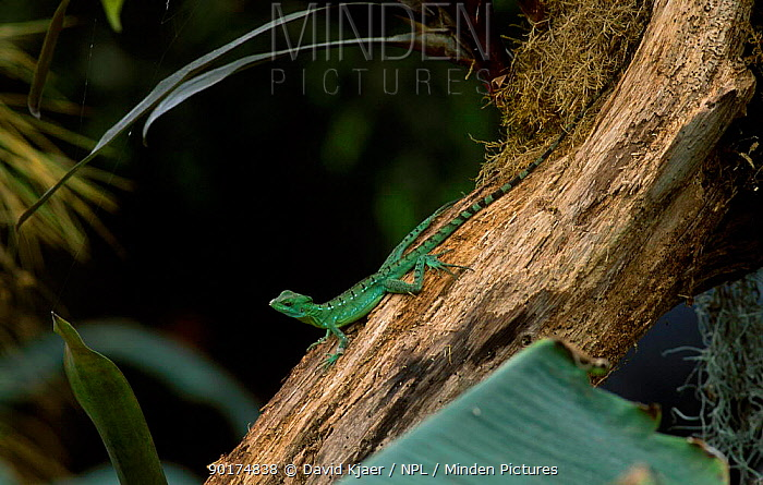 Double crested basilisk (Basiliscus plumifrons) captive  -  David Kjaer/ npl