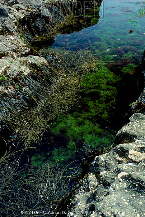 Rock pool with Brown and Green seaweeds UK  -  Adrian Davies/ npl