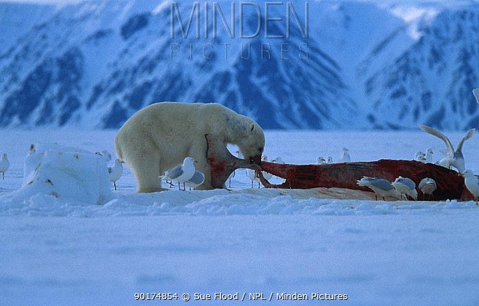 Polar bear feeds on whale carcass (Ursus maritimus) Churchill Canada  -  Sue Flood/ npl