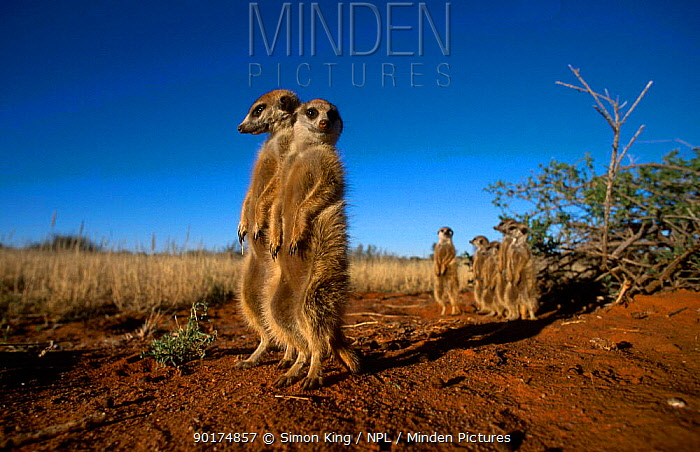 Meerkat family on alert guard (Suricata suricatta) Tswali Kalahari R South Africa  -  Simon King/ npl