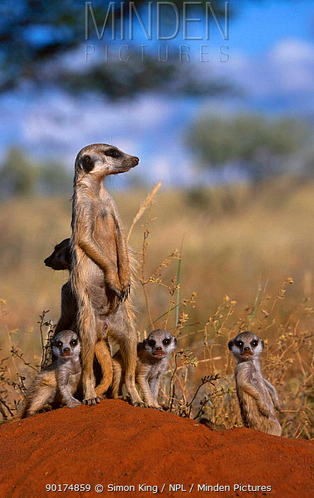 Meerkat family on guard at burrow (Suricata suricatta) Tswali Kalahari R South Africa  -  Simon King/ npl