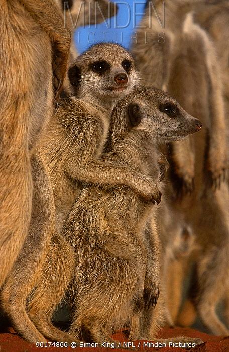 Young Meerkats huddling together (Suricata suricatta) Tswalu Kalahari Reserve S Africa  -  Simon King/ npl