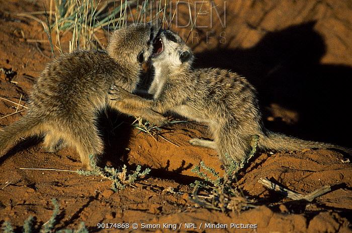 Juvenile Meerkats playfighting (Suricata suricatta) Tswalu Kalahari Reserve South Africa  -  Simon King/ npl