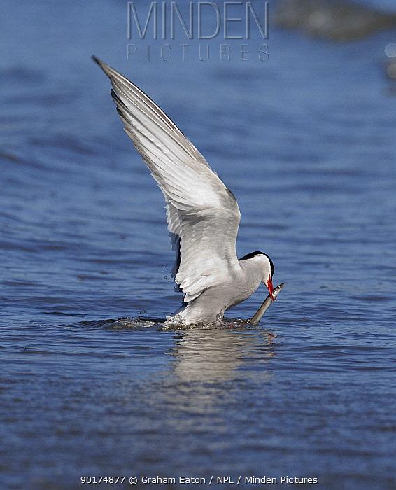 Arctic Tern (Sterna paradisaea) catching Sandeel fish prey, Wales, UK, 2006  -  Graham Eaton/ npl