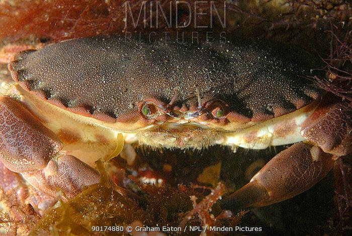 Edible Crab (Cancer pagurus) Wales, UK 2007  -  Graham Eaton/ npl