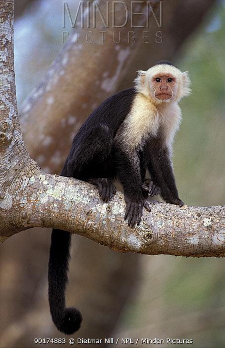 White-faced capuchin (Cebus capucinus) Santa Rosa NP Costa Rica  -  Dietmar Nill/ npl