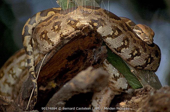 Indian python coiled (Python molurus) Keoladeo Ghana NP Indi  -  Bernard Castelein/ npl