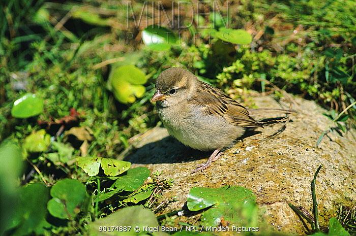 Common sparrow juvenile (Passer domesticus) England, UK Summer in Kent  -  Nigel Bean/ npl
