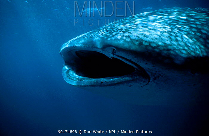 Whale shark filter feeding with mouth open (Rhincodon typus) Australia  -  Doc White/ npl