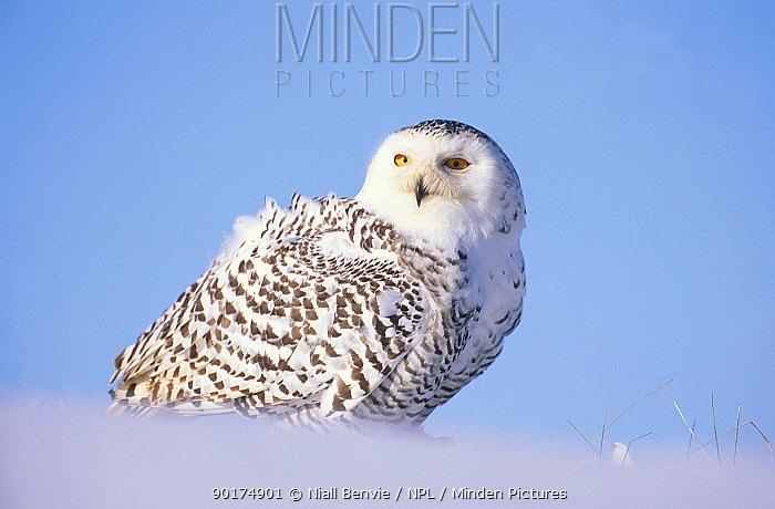 Snowy owl (Nyctea scandiaca) female captive Scotland UK  -  Niall Benvie/ npl