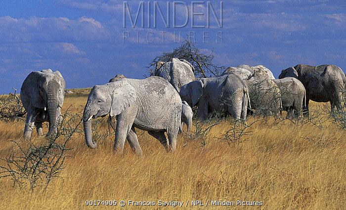 African elephant herd feeding on camel-thorn acacia Etosha NP (Loxodonta africana) Namibia  -  Francois Savigny/ npl