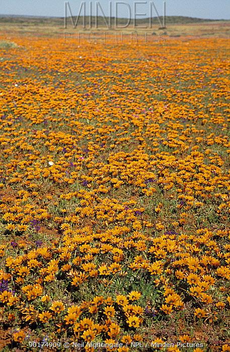 Flowering desert Namaqualand South Africa  -  Neil Nightingale/ npl