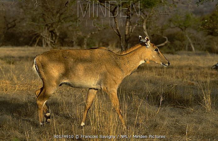 Nilgai female portrait (Boselaphus tragocamelus) Ranthambor NP Rajasthan India  -  Francois Savigny/ npl