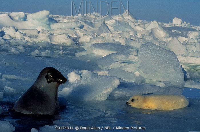 Harp seal mother pup (Phoca groenlandicus) on melting ice Gulf of St Lawrence Canada  -  Doug Allan/ npl