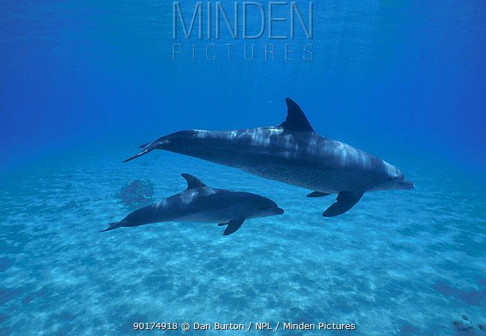 Bottlenosed Dolphin with calf (Tursiops truncatus) Red Sea Egypt  -  Dan Burton/ npl