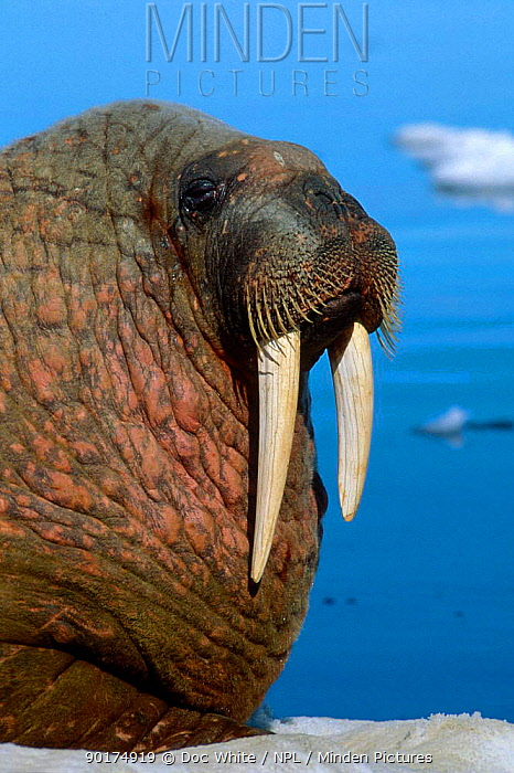 Walrus portrait (Odobenus rosmarus) Baffin Is Canada  -  Doc White/ npl