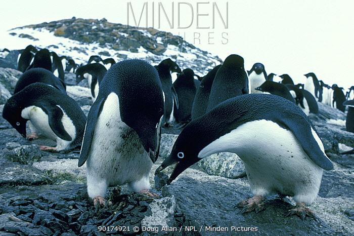 Adelie penguin pair building nest (Pygoscelis adeliae) Signy Is, Antarctica  -  Doug Allan/ npl