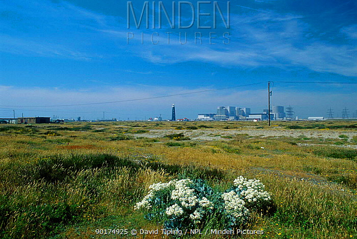 Dungeness nuclear power station Kent UK Sea Kale (Crambe maritima)  -  David Tipling/ npl