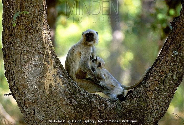 Hanuman langur suckling young (Presbytis entellus) India  -  David Tipling/ npl