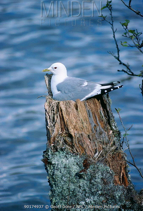 Common gull adult on nest (Larus canus) North Scotland, UK, May  -  Geoff Dore/ npl
