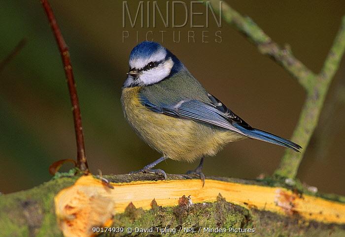 Blue tit portrait (Parus caeruleus) Kent England UK  -  David Tipling/ npl