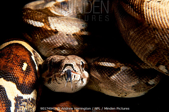 Boa constrictor head portrait with tongue out (Constrictor constrictor) captive  -  Andrew Harrington/ npl