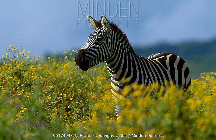 Common zebra amongst wild flowers (Equus burchelli) Ngorongoro Tanzania Africa  -  Francois Savigny/ npl