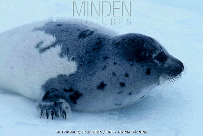 Moulting Harp seal pup Ragged Jacket (Phoca groenlandicus) Gulf of St Lawrence Canada  -  Doug Allan/ npl