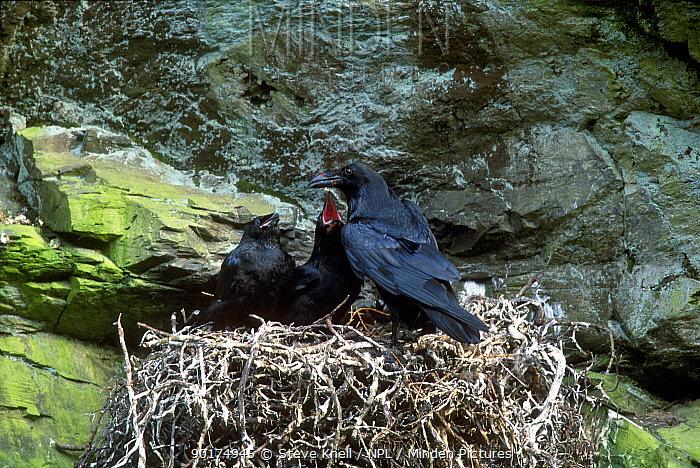 Ravens at nest (Corvus corax) Lake District England UK  -  Steve Knell/ npl