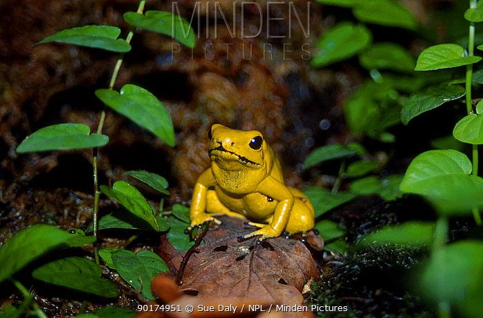 Golden poison dart frog (Phyllobates terribilis) Jersey Zoo UK  -  Sue Daly/ npl